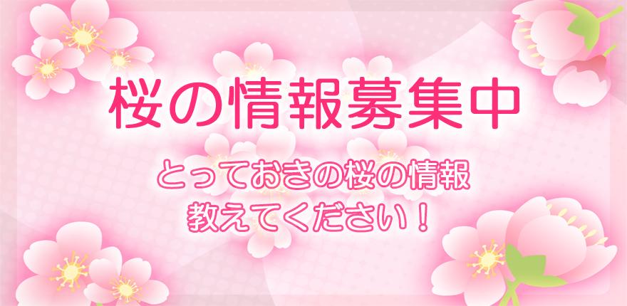 桜の情報募集